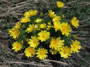 909 Адоніс весняний