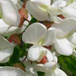964 Рецепти застосування лікувальних властивостей акації білої