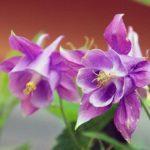 978 Квітка Аквілегія