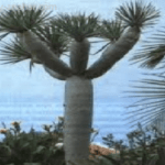 1150 Застосування лікувальних властивостей ангостурового дерева