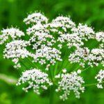 1156 Рецепти застосування лікувальних властивостей анісу звичайного