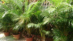 1241 Рецепти застосування лікувальних властивостей арекової пальми
