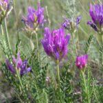 1317 Рецепти для застосування лікувальних властивостей астрагала шерстистоцветкового