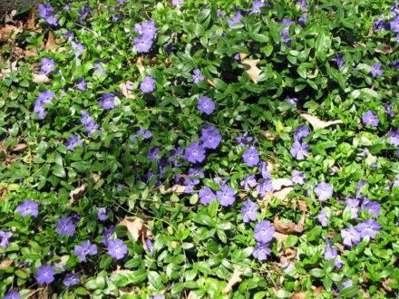 Корисні властивості і застосування барвінку, квіти барвінку