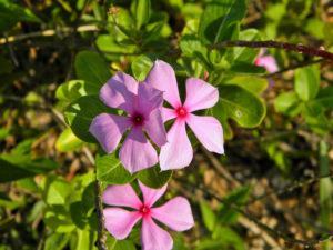 1416 Корисні властивості і застосування барвінку, квіти барвінку