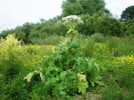 Властивості борщівника – отруйної рослини, опіки від борщівника