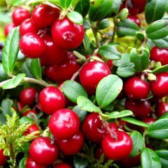 Корисні властивості і застосування листя брусниці