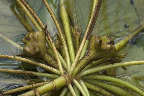 Корисні властивості і рецепти застосування водяного горіха