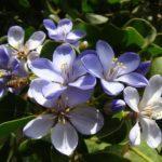 2070 Корисні властивості і застосування ефірного масла гваякового дерева