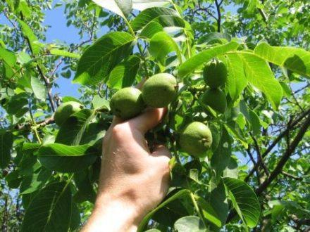 Рекомендації щодо включення волоського горіха в ваш раціон