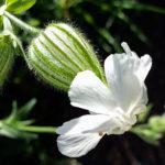 2416 Корисні властивості і застосування трави дрімоти