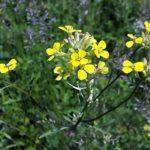2573 Корисні властивості і застосування трави жовтушника
