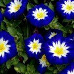 2917 Корисні властивості і застосування іпомеї, догляд і вирощування