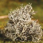 2940 Корисні властивості і рецепти застосування ісландського моху