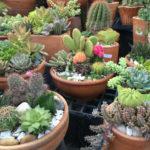 2996 Корисні властивості і застосування кактуса