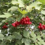 Вирощування і застосування корисних властивостей, рецепти калини звичайної