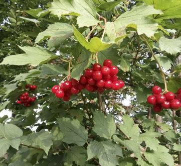 3059 Вирощування і застосування корисних властивостей, рецепти калини звичайної