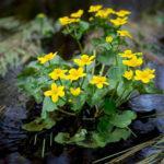 Корисні властивості і застосування Калюжниці болотної